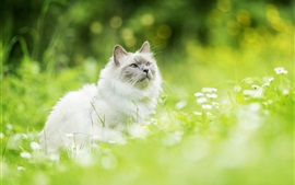 Preview wallpaper Furry white kitten look up, grass