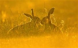 Lebre, grama, verão, luz do sol
