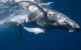 Preview wallpaper Humpback whale, underwater, sea