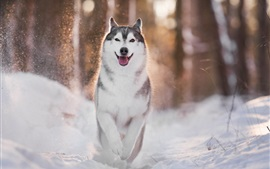 Preview wallpaper Husky dog walk in the snow, winter, backlight