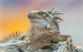 Preview wallpaper Iguana, animal close-up