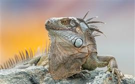 Iguana, animal close-up