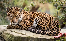Preview wallpaper Jaguar look back, rest