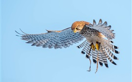 Preview wallpaper Kestrel, wings, flight, bird