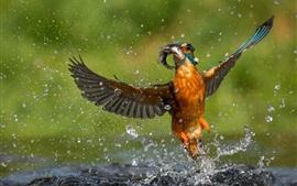 Kingfisher pega um peixe, vôo, asas, gotas de água