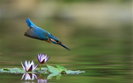 Preview wallpaper Kingfisher flight, water lily, pond