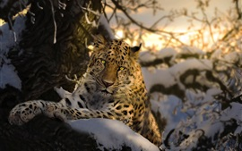 Leopard, yellow eyes, tree, snow, winter