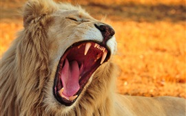 Preview wallpaper Lion yawn, teeth, tongue