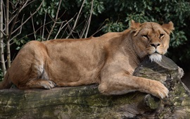 Preview wallpaper Lioness rest on tree