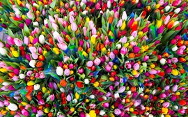 Many tulips, colorful flowers, congratulations