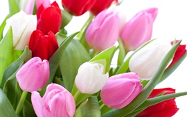 Pink and red tulips, white background