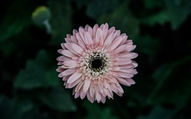 Preview wallpaper Pink aster flower close-up, bokeh