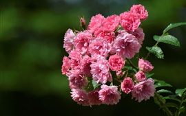 Aperçu fond d'écran Fleurs roses, briar, bokeh