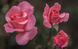 Rosas cor-de-rosa, fundo desfocado