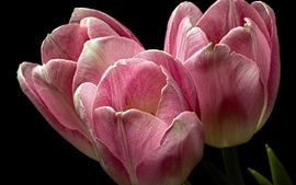 Tulipas cor-de-rosa, close-up de flores, fundo preto