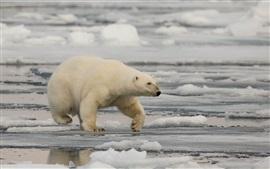 Polar bear, snow, sea