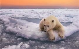 Urso polar, neve, por do sol