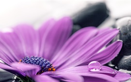 Preview wallpaper Purple gerbera petals macro photography, water drops