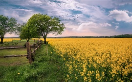 Preview wallpaper Rapeseed field, flowers, trees, grass