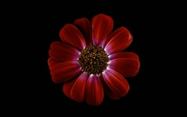 Red chrysanthemum, petals, black background