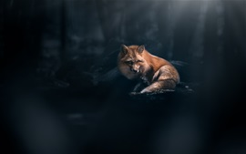 Preview wallpaper Red fox look, forest, light