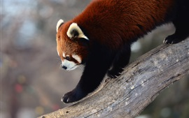 Preview wallpaper Red panda walk down from tree