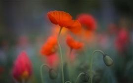 Flor de papoula vermelha, embaçada