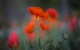 Flor de amapola roja, borrosa