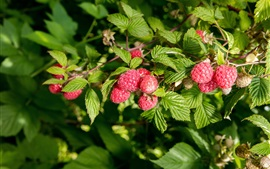 Preview wallpaper Red raspberry, berries, leaves