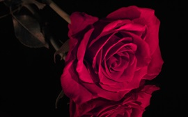 Preview wallpaper Red rose close-up, darkness