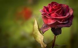 Rosa roja, pétalos, bokeh