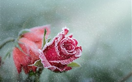Preview wallpaper Red roses, frost, snowy