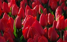 壁紙のプレビュー 赤いチューリップ、多くの花、日差し