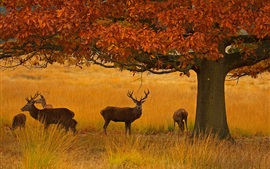 Preview wallpaper Richmond Park, deers, grass, tree, autumn, London, England
