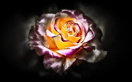 Rosa, pétalos blancos púrpuras