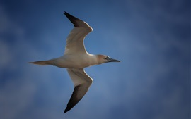 Seagull flight, wings, blue sky
