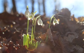 Preview wallpaper Snowdrops bloom, leaves, glare