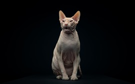 Preview wallpaper Sphynx cat, black background