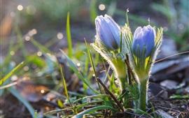 壁紙のプレビュー 春、アネモネ、青い花、ボケ