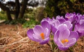 Flores de primavera, azafranes, púrpura
