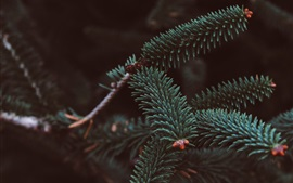 Preview wallpaper Spruce, branches, needles