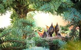 Preview wallpaper Spruce, little birds, nest