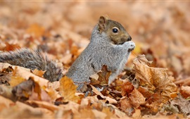 Preview wallpaper Squirrel and maple leaves, autumn
