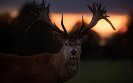 Sunset, deer, horns, backlight