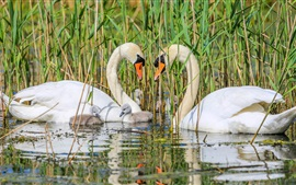 Preview wallpaper Swan family, pond, grass