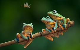 Preview wallpaper Three frogs, dragonfly