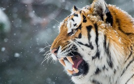 Preview wallpaper Tiger in the winter, snow, face, mouth, teeth