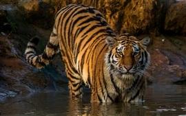 Aperçu fond d'écran Tigre à pied à l'eau