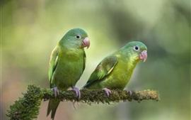 Dois papagaios verdes, fundo desfocado