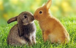 Dois coelhos, cinza e laranja, grama